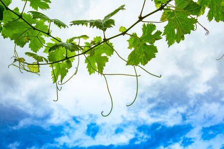 Il ramo di vite verde fresco lascia in vista ad angolo basso, contro il fondo del cielo delle nuvole morbide bianche blu con lo spazio della copia sul lato inferiore inferiore