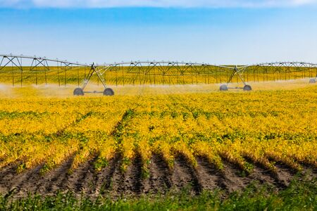 A wide angle view of a central pivot irrigation sprinkler watering system in a field of young crops in Saskatchewan, Canada. With copy space