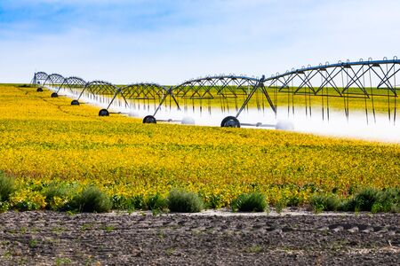 A golden field of young vegetable crops is seen in Alberta, Canada, with a long central pivot automated water irrigation system spraying fine mist