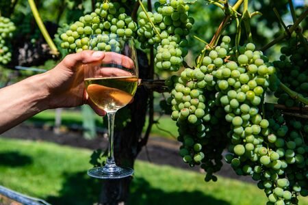 hand holding a glass of white wine against unripe fresh green grapes fruits background close up view, Okanagan Valley wineries vineyards tasting