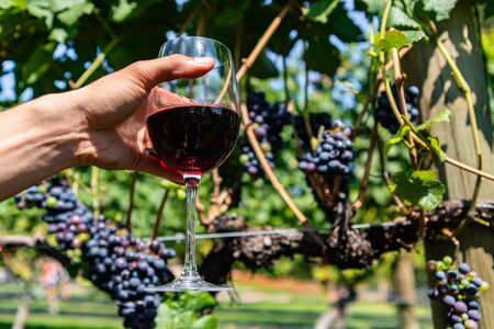 man hand holding a glass of red wine in selective focus view against unripe red wine grapes background, Okanagan Valley vineyards Stock fotó