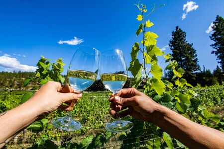 two hands holding and cheering glasses of pale clear white wine against grapevine green fresh leaves and branches, Okanagan Valley vineyards Stock fotó