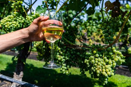 man hand holding a glass of white wine against unripe fresh green grapes, grapevine fruits background, Okanagan Valley winery vineyards