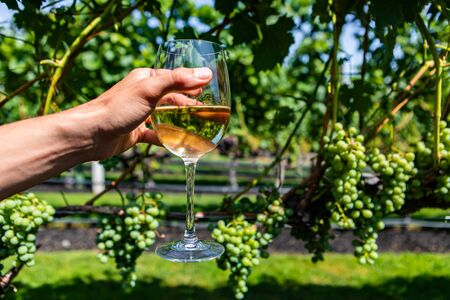 hand holding a glass of white wine against unripe fresh green grapes, grapevine vineyard background, Okanagan Valley British Columbia, Canada
