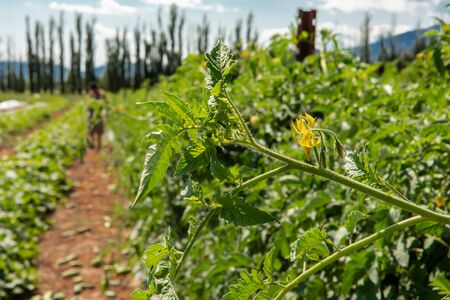 selective focus and close up on tomato plant branch with one flower and full of leaves against plants and cucumber field, with copy space on the right
