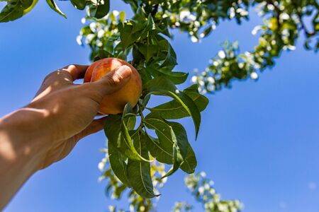 low angle, selective focus and close up view on hand picking a ripe peach fruit from the tree branch against a clear blue sky in the background