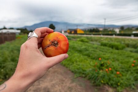 farmer hand holding and showing a split tomato with radial cracks in selective focus and close up view against agriculture open green field background Reklamní fotografie