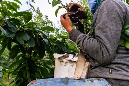 Side view of an unrecognizable man standing on the ladder and picking cherries from the tree, Cherry harvest in the industrial orchard