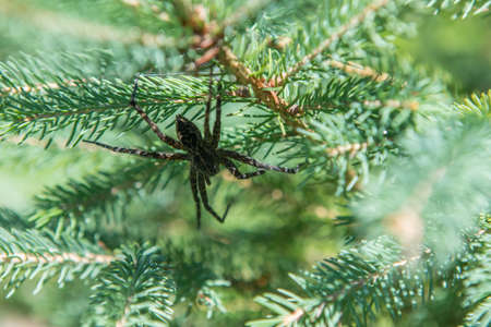 Close up of a big spider on the branch of a pine in the woodland, making a spider web. Sunny day, natural light filtering through the trees.