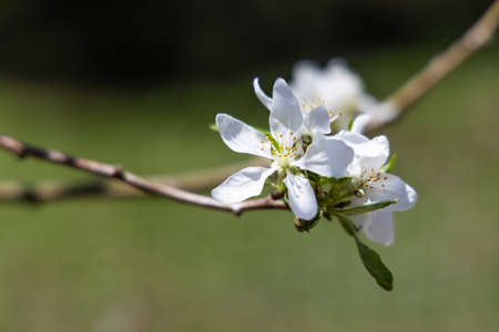 A close up image of beautiful apple flowers, blooming of the branch of a tree in a garden, on a bright sunny day, with blurry green background