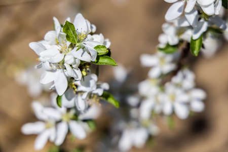 A close up image of beautiful white apple flowers, blooming on an apple tree, with blurred background, captured on a bright sunny day in a garden. Standard-Bild