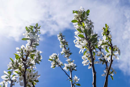 A snapshot of branches covered with an apple flowers, facing towards the sky covered with white clouds, giving an amazing view of an bright sunny day. Standard-Bild