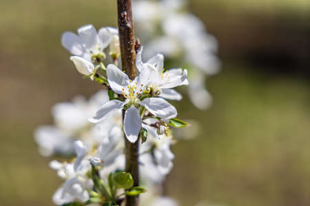 A detailed image of white apple flowers, growing on branch of a tree, with blurred background on a sunny spring day, seeds of the flowers can be seen