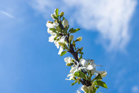 A close up shot of beautiful white flowers blooming on the branch of an apple tree, with bright blue summer sky in the background.