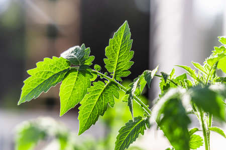A detailed shot of green plant leaves in a home garden , on a bright sunny summer day, a house can be seen in the blurry background.