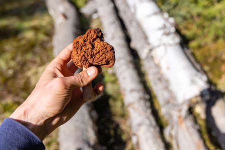 A zoomed in view of a mans hand holding a false morel, chocolate brown in color, found somewhere in the forest, during daylight, in the woods.