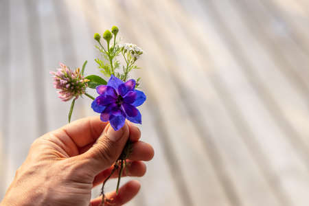 A detailed shot of a hand of a person, holding a beautiful plucked flower, purple and pink in shades, some flower buds can also be seen.