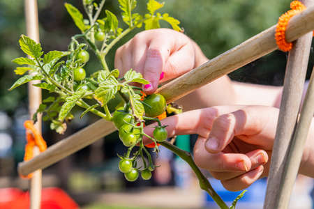 A close snapshot of hands of kids, examining the un ripened fruits of the plant, during gardening activity, captured in a home garden on a sunny day