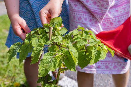 The hands of two children examining the plant they potted, in the garden, during the gardening activity, on a bright sunny summer day. Standard-Bild