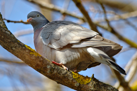 Wood pigeon sitting on a branch looking into the camera.