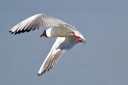 Freeze frame of bird in flight. Black headed gull with red feet, red eye and red beak flying. Bird's wings spread, shadow of a head visible on the wing. 免版税图像