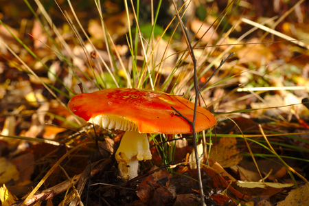 Red fly agaric without dots waiting for the victim on the forest.