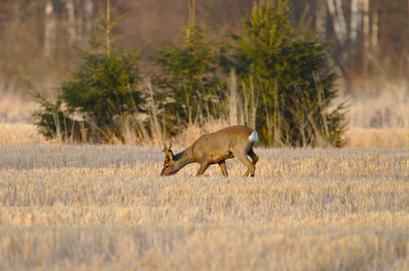 Roe deer looking for a food on a golden harvested crop field in the evening Stock Photo