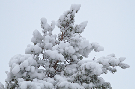 Too of a pine tree covered with a lot of white snow