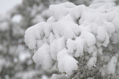 White heavy snow on a branch of a pine tree.
