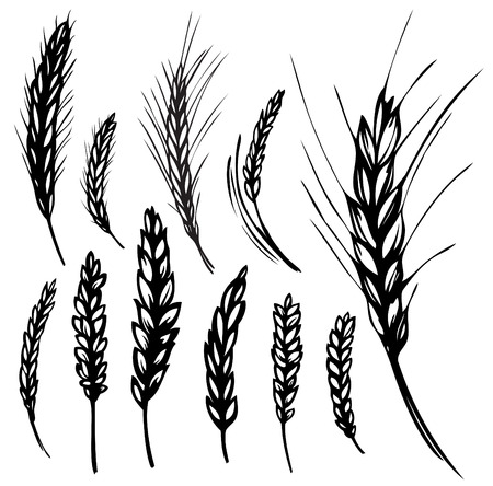 wheat illustration: illustrazione di segale, frumento  Vettoriali