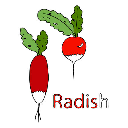 Radish cartoon. Coloring book. Vector doodle outline freehand drawing, sketch with text, two vegetables, first vitamins from the garden, black lines, isolated on white background, root vegetable