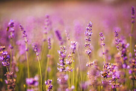 field of purple colored lavender angustifolia plant in summer afternoon