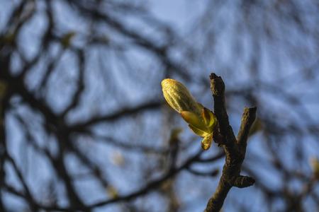 dissolve: dissolve the chestnut tree