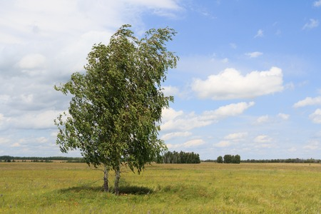 inclined: Two birches standing in the field inclined by a wind