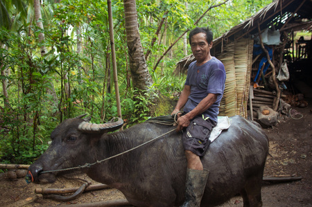 Siargao, Philippines - MARCH 18, 2016: Unidentified Philippine man rides a cow carabao. Hard work of the local hinterland in the Philippines Editorial