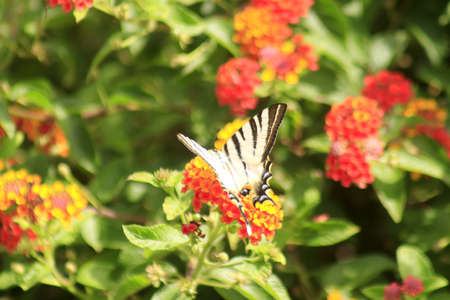 The Typical, beautiful and picturesque butterflies of Methoni, Greece