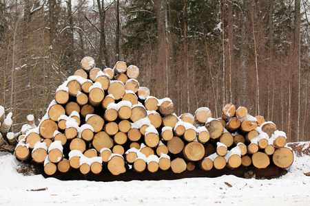 tree felling: Logs. Tree felling in the winter Stock Photo