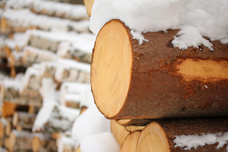 tree felling: Log of pine-tree. Tree felling in the winter