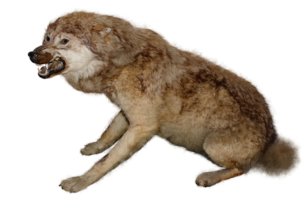 Animal taxidermy. Stuffed wolf on a white background