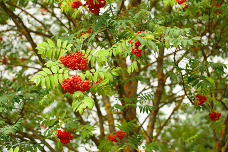 The rowan twigs with ripe red berries on a tree