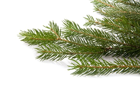 branch of fir-tree on a white background 版權商用圖片