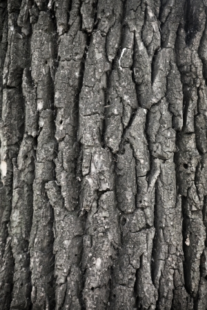 old bark of tree as background photo