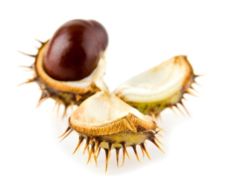 chestnut on a white background  photo