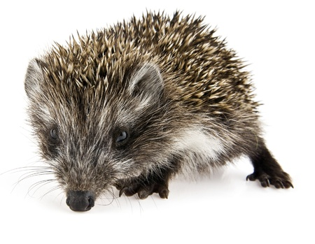 hedgehog on a white background Stock Photo - 15698520