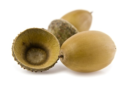 the acorns on a white background photo