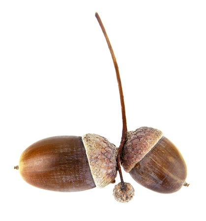 acorns on a white background photo