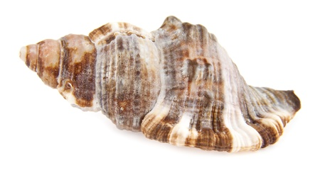 molluscs: cockleshell on a white background