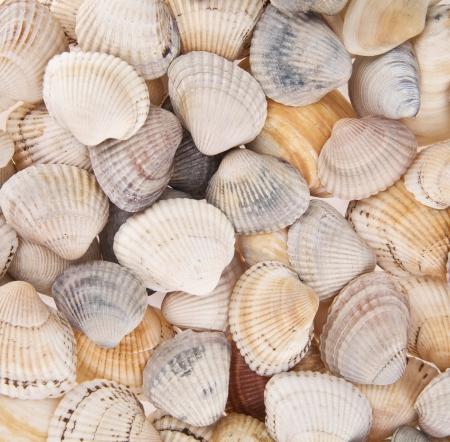 cockleshells: marine cockleshells as background