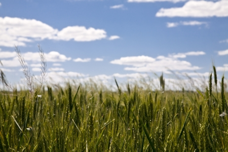 a field of wheat in clear weather on the background of the sky photo