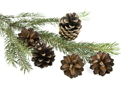 cones and branch of the tree on a white background photo